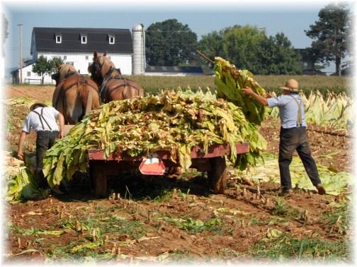 Lancaster County old-order Mennonite tobacco harvest (9/13/12)