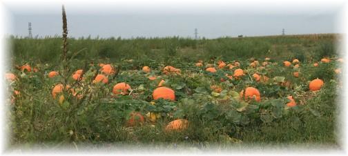 Pumpkins in field 9/9/15
