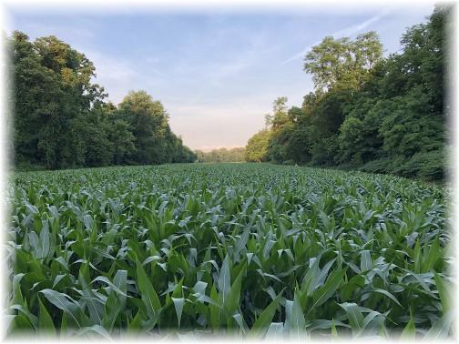Corn field along River trail near Marietta, PA 6/26/18