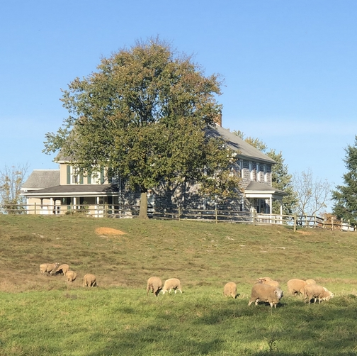 Rutt farm sheep