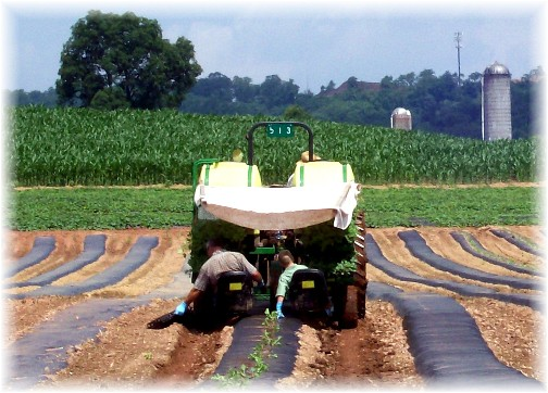 Lancaster County, PA watermelon planting
