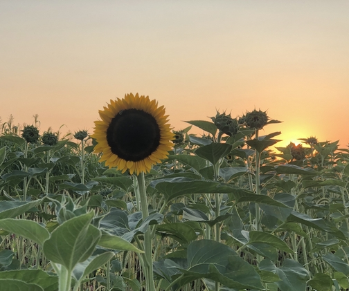 Kraybill Church Road sunset sunflower 8/6/19 (Click to enlarge)