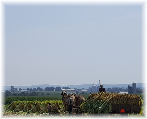 Lancaster County tobacco harvest 8/17/17 (Click to enlarge)
