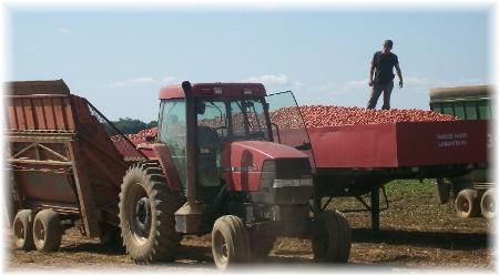 Tomato Harvest, Lancaster County, PA