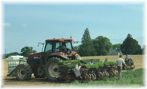 Tomato planting, Lancaster County, PA 6/2/16 (Click to enlarge)