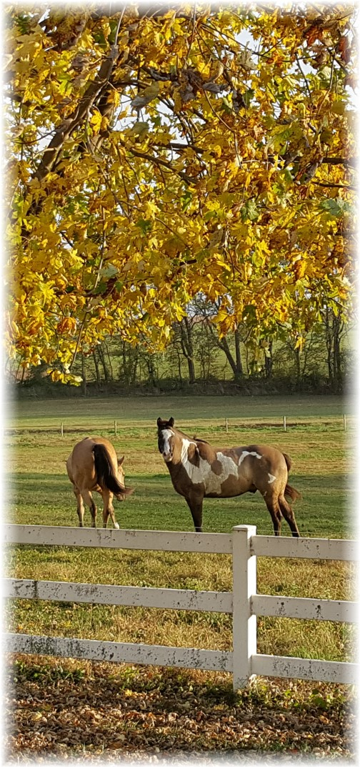 Horses along Trout Run Road 11/3/17