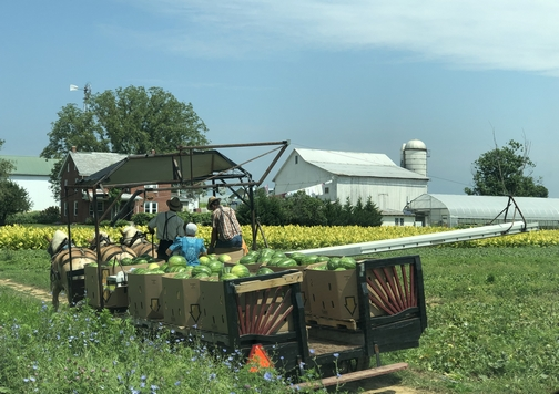 Watermelon harvest in Lancaster County