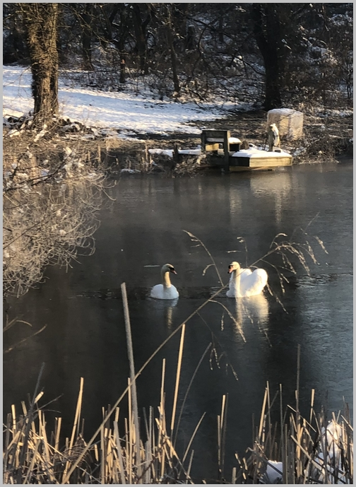 Swans on Wenger pond, Milton Grove Road, Lancaster County, PA 3/5/19