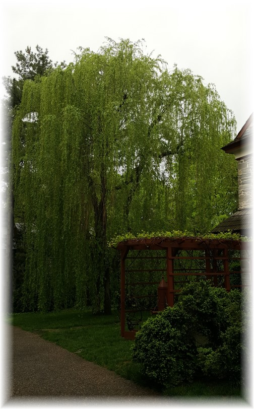 Wright's Ferry Mansion willow tree, Columbia, PA 4/29/17
