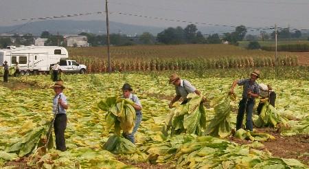 Tobacco harvest by old order Mennonites