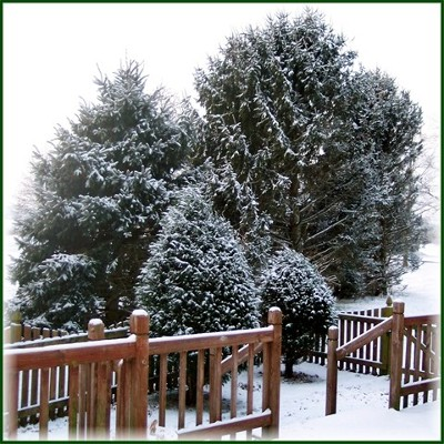 Snowy trees in our side yard