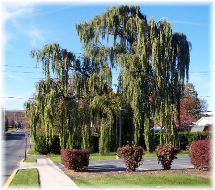 Weeping willow in Kutztown PA