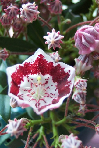 Photo of Mountain Laurel flowers