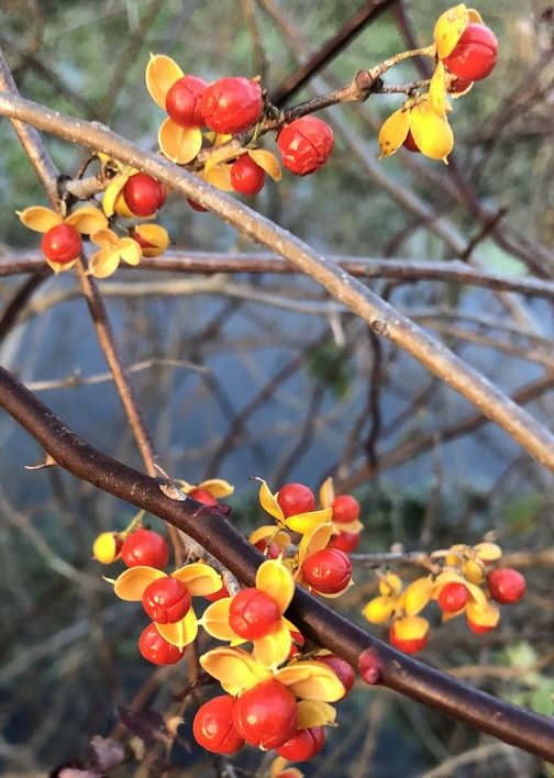 Berries along Donegal Creek 11/18/19