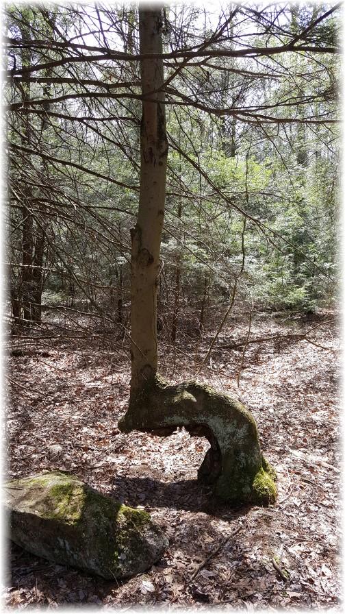Persevering tree 4/11/17