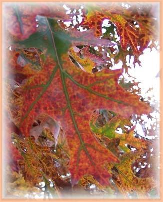 Photo of Oak Leaf