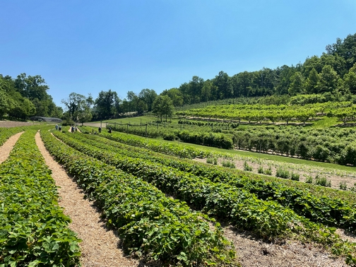 Berks County Berry farm and orchard