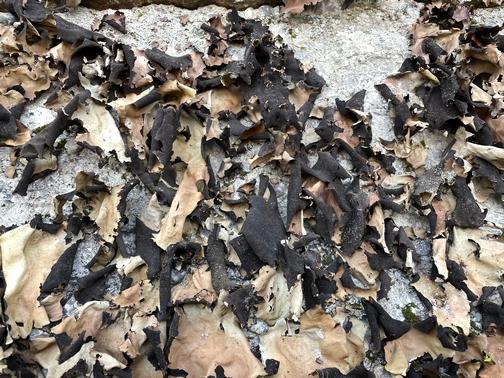 Boxcar Rocks burnt leaves