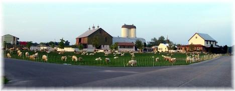 Sheep on Cumberland County PA farm