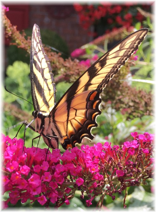 Monarch butterfly 7/26/17 (Photo by Ester)