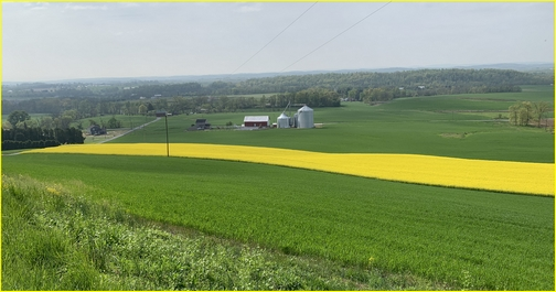 Rapeseed field, Lebanon County, 4/30/19 (Click to enlarge)