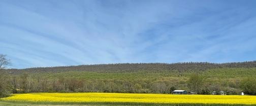 Blue Mountain rapeseed field