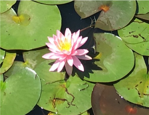 Water lily pond near Tower City, PA 6/20/17