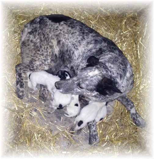 Blue Heeler with new pups 4/23/15