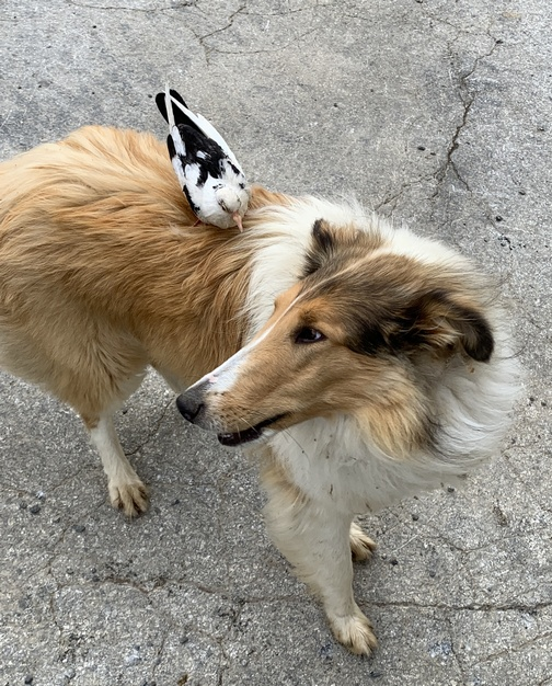 Collie with pigeon on back