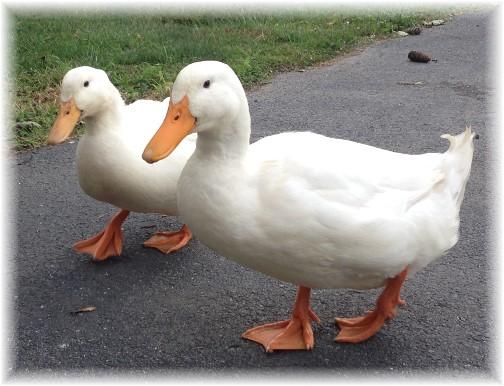 Cooke pet ducks