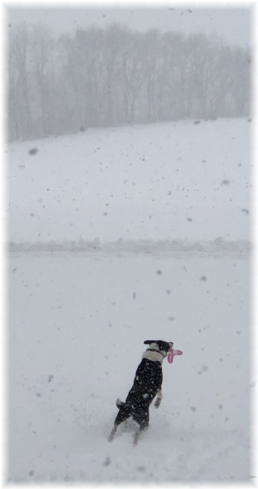 Mollie catching frisbee in snow storm