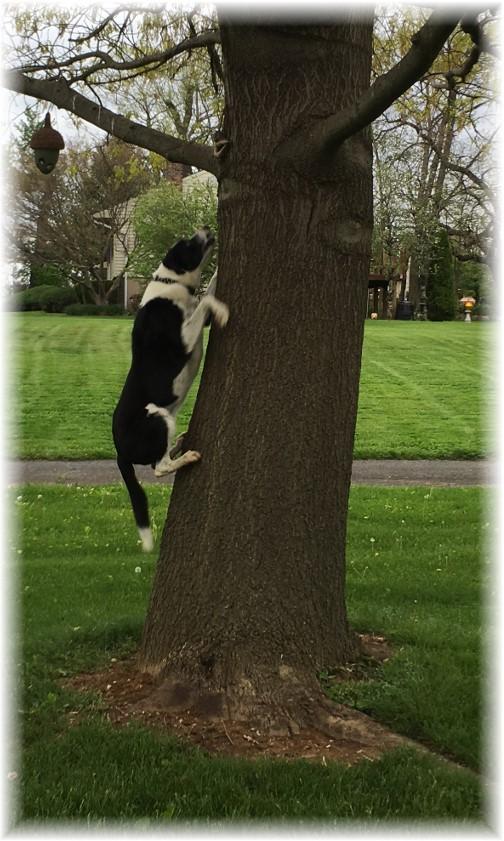 "Mollie ""climbing"" tree 5/5/16"