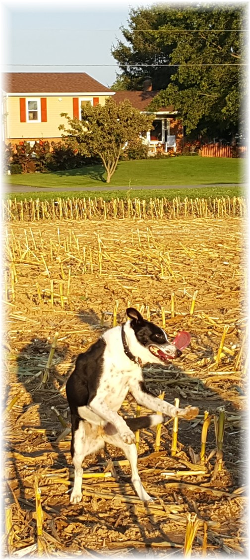 Mollie catching frisbee in recently harvested field 9/15/17