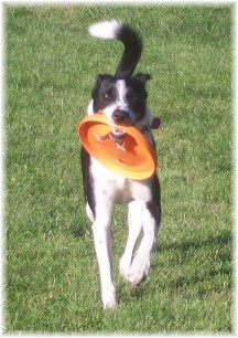 Mollie playing with frisbee