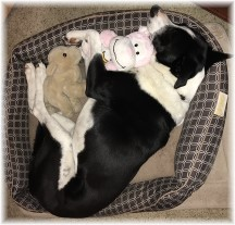 Mollie sleeping with stuffed animals 2/18/18 (Photo by Ester)