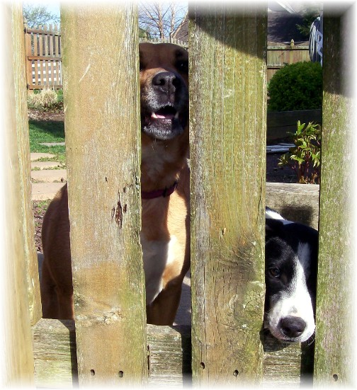 Pet friends through fence