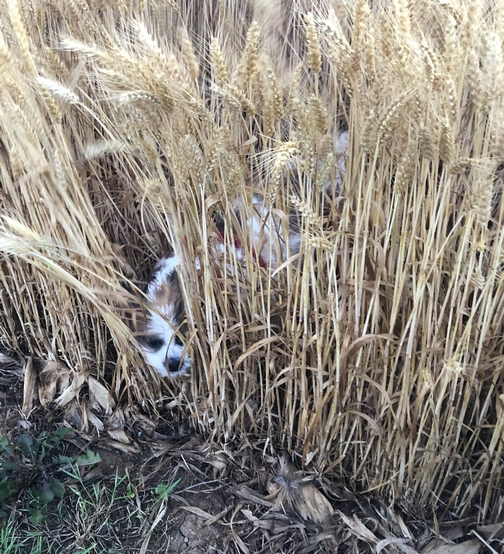 Sadie in the wheat field