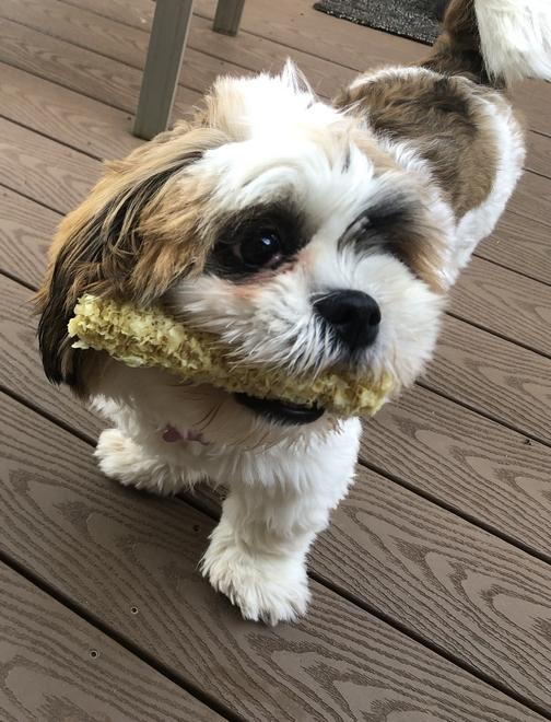 Sadie with corn cob 7/1/19