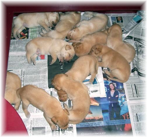 Yellow lab pups (9/1/11)
