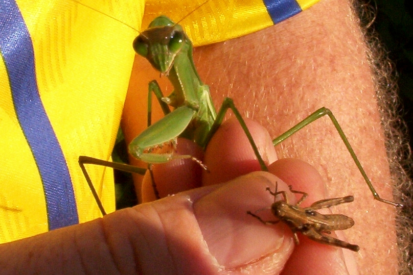 Praying mantis in Mike's hand