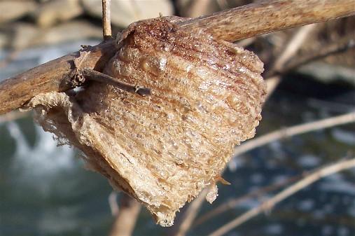Praying Mantis nest