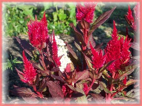 Photo of red Celosia flowers