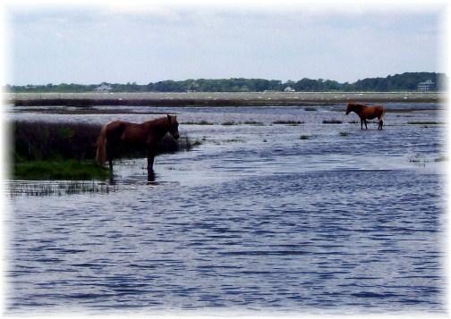 Assateague Island wild ponies