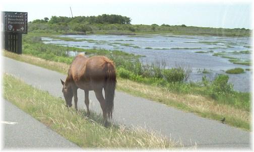 Assateague Island wild pony