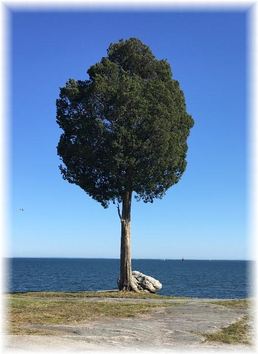 Lone tree, Fairhaven, MA 6/18/16