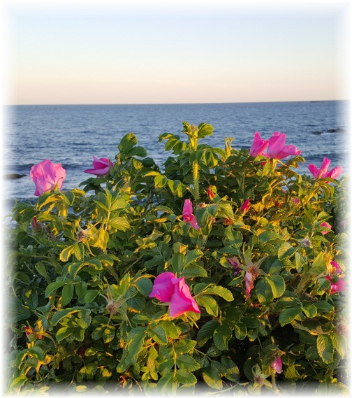 Flowers on Sachuest Point, Rhode Island 6/17/16