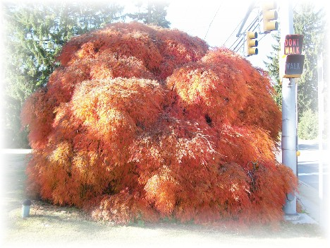 "Colorful shrub ""Acer palmatum dissectum viridis"""