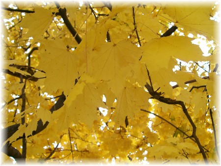 Photo of yellow maple leaves