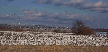 Photo of Snow Geese at Middle Creek Wildlife Management Area