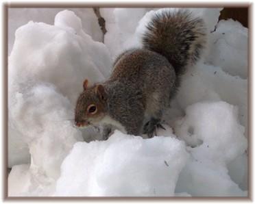 Squirrel on snow pile